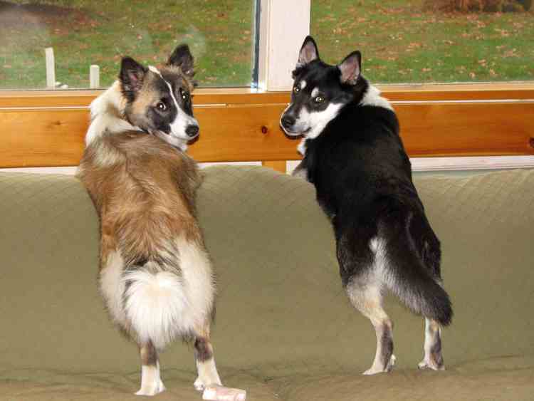 icelandic_sheepdogs_6